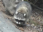 Stock Video Footage of Racoons Looking For Food