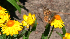 Painted lady butterfly Stock Footage
