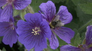 Stock Video Footage of Bee vists Geranium flower 1.