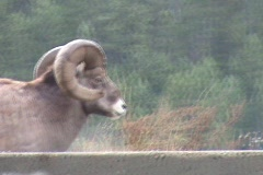 Rocky Mountain Bighorn Sheep Stock Footage