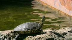 Turtle laying in the sun Stock Footage