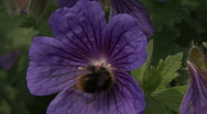 Stock Video Footage of Bee vists Geranium flower 3.