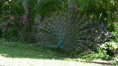 Peacock with his feathers spread Stock Footage