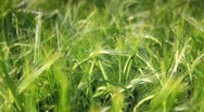Stock Video Footage of Green wheat field