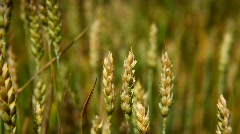moving camera focus on the grain field with blue sky in background - stock footage