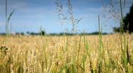 Stock Video Footage of Grain field closeup