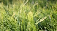 Green wheat field  - stock footage