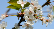 Apple Flowers on the spring wind Stock Footage