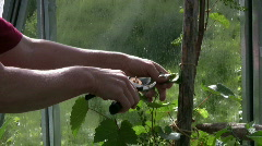 trim grape vine in a greenhouse - stock footage
