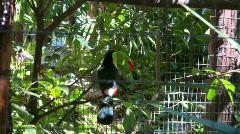 Keel billed Toucan Stock Footage