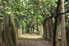Lemon tree grove zoom out Stock Footage