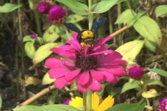 Bumble Bees Stock Footage