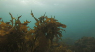 Stock Video Footage of Fish hiding among Kelp