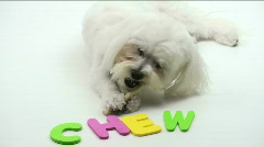 Puppy Chew Stock Footage