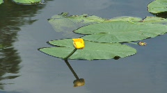 Yellow waterlily Stock Footage