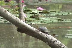 Turtle Basking In Sun On Tree Stock Footage