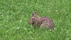 Db wild rabbit Stock Footage