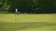 Stock Video Footage of Geese On A Golf Couse