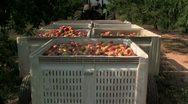 Tractor pulls load of freshly picked peaches in an orchard Stock Footage