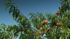 Ripe Peaches on tree in early morning against blue sky Stock Footage