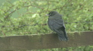 Stock Video Footage of Jackdaw fledgling on fence