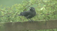 Stock Video Footage of Jackdaw fledgling on fence shakes