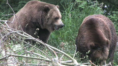 Two Brown Bears on the Move 2 Stock Footage