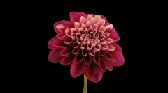 Time-lapse opening and dying red dahlia 9b with alpha matte Stock Footage