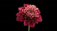 Stock Video Footage of Time-lapse opening and dying red dahlia 9b with alpha matte