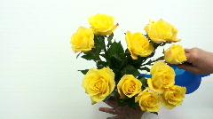 Freshening roses Stock Footage