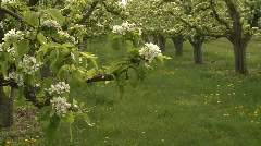 Apple trees in blossom tilt up 2 Stock Footage