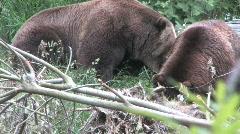 Two Brown Bears on Hillside 1 Stock Footage