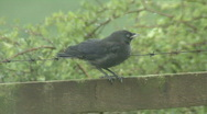 Stock Video Footage of Jackdaw fledgling on fence calls for it's parents