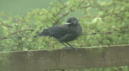 Stock Video Footage of Jackdaw fledgling on fence calls to it's parents