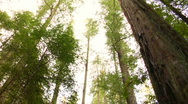 Redwoods - spinning Stock Footage