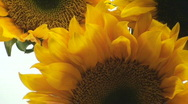 Sunflower zoom Stock Footage