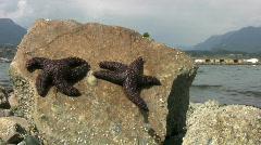 Purple Starfish Baking In The Sun (HD 1080p30) Stock Footage