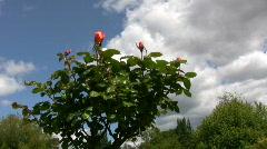 Red Irish rose 13 Stock Footage
