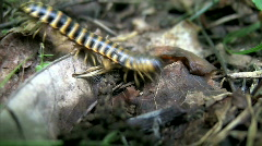 Yellow And Black Millipede - 4 Shots Stock Footage