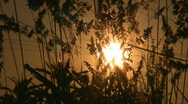 Sunrise through grasses. Stock Footage