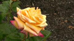 Yellow Irish rose 5 Stock Footage