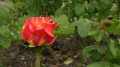Red Irish rose 20 Stock Footage