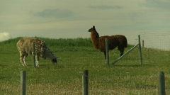 Llamas Stock Footage