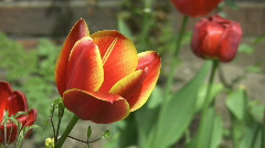 Red and yellow tulip. Stock Footage