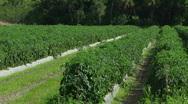 Tomato Field Medium Stock Footage