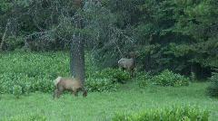 Wild Elk Chinook Pass 7 Stock Footage