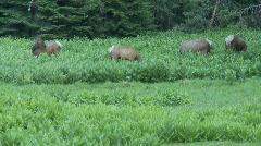 Wild Elk Chinook Pass 5 Stock Footage