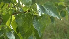 Poplar leaves Stock Footage