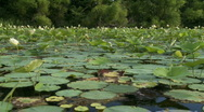 Stock Video Footage of lilly pads