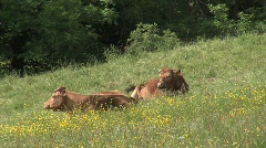 cows in the countryside ( vaches à la campagne ) Stock Footage